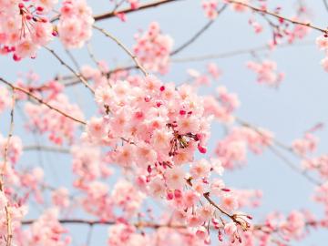 Sakura - Japán körutazás cseresznyefavirágzáskor (2020. március 21.; 24.; 26.; 30.;) ***