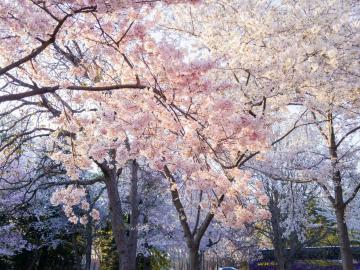 Sakura EXTRA: Japán körutazás cseresznyevirágzáskor (2020. március 31 – április 15.) ***